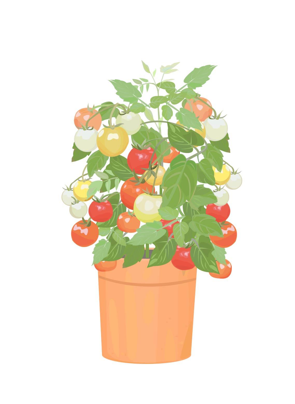 野菜栽培は簡単にできる?ミニトマトときゅうりを植えました!